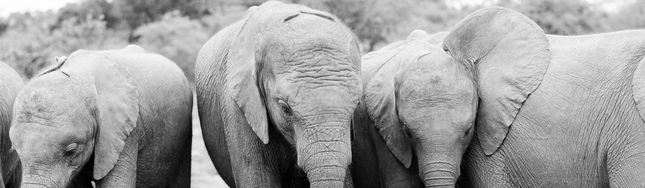 The most successful orphaned elephant rescue and rehabilitation program in the world.